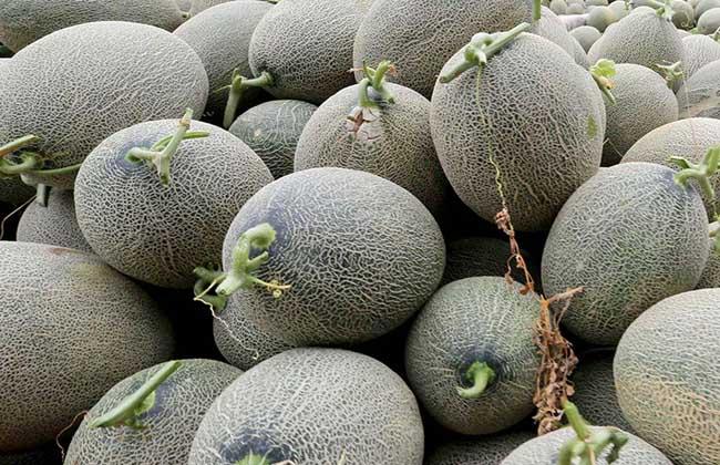选哈密瓜时,什么样的哈密瓜最甜?记住这3点,一挑一个准