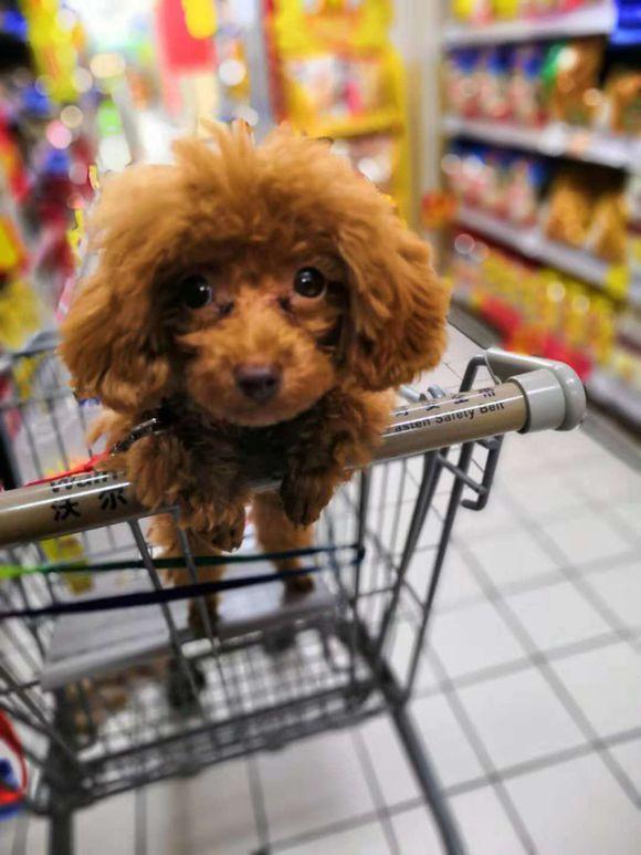 网友第一次带泰迪到超市,从来没有见过这么多吃的!