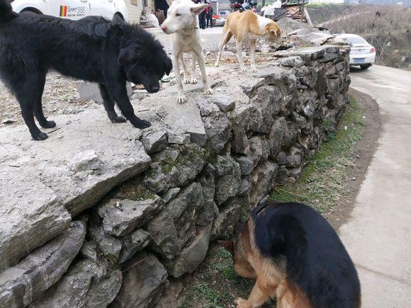 德牧在村里混的不行,虽然个大,但是总是受排挤