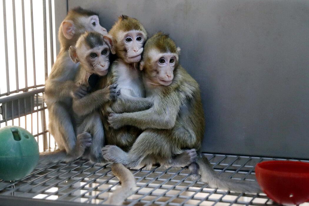2019年,上海的中国科学院神经科学研究所的克隆猴。几十年来,中国一直是世界上主要的科研用猴供应国。