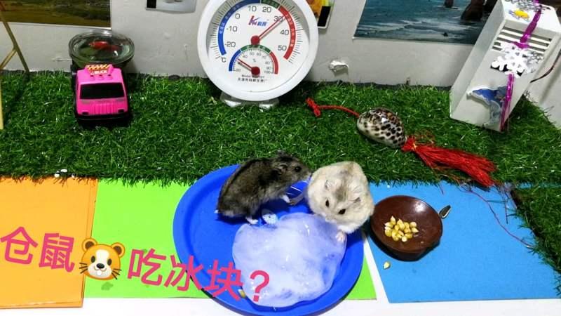 身后八只狗_炎热的夏天,主人测试仓鼠看见冰块会不会扑上去狂吃?_好看视频
