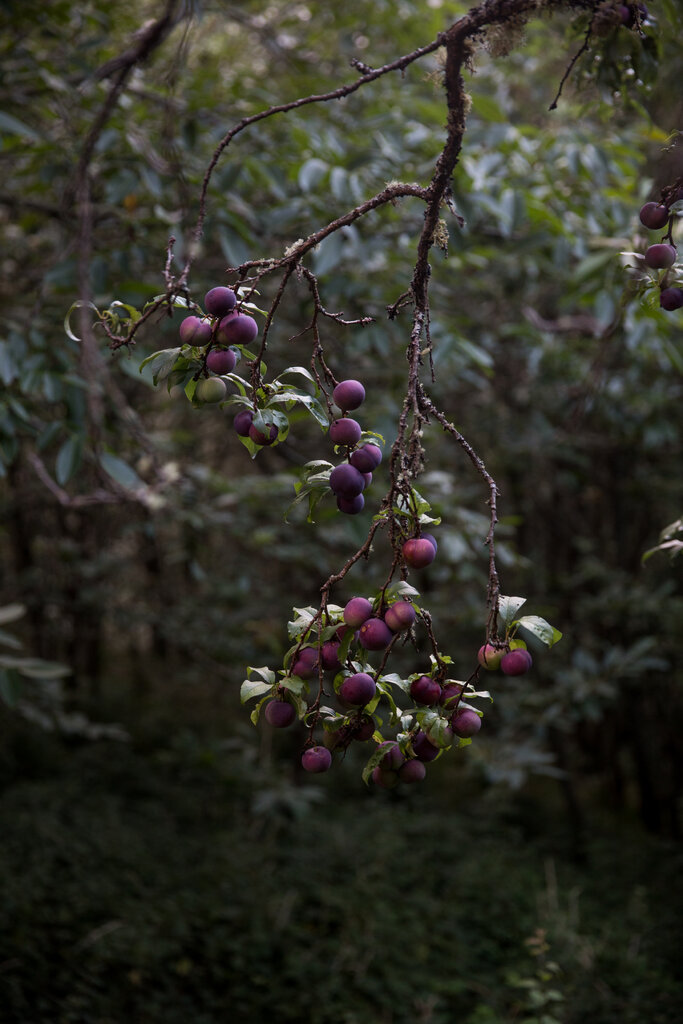 农舍经常被果树包围,比如这棵李树。