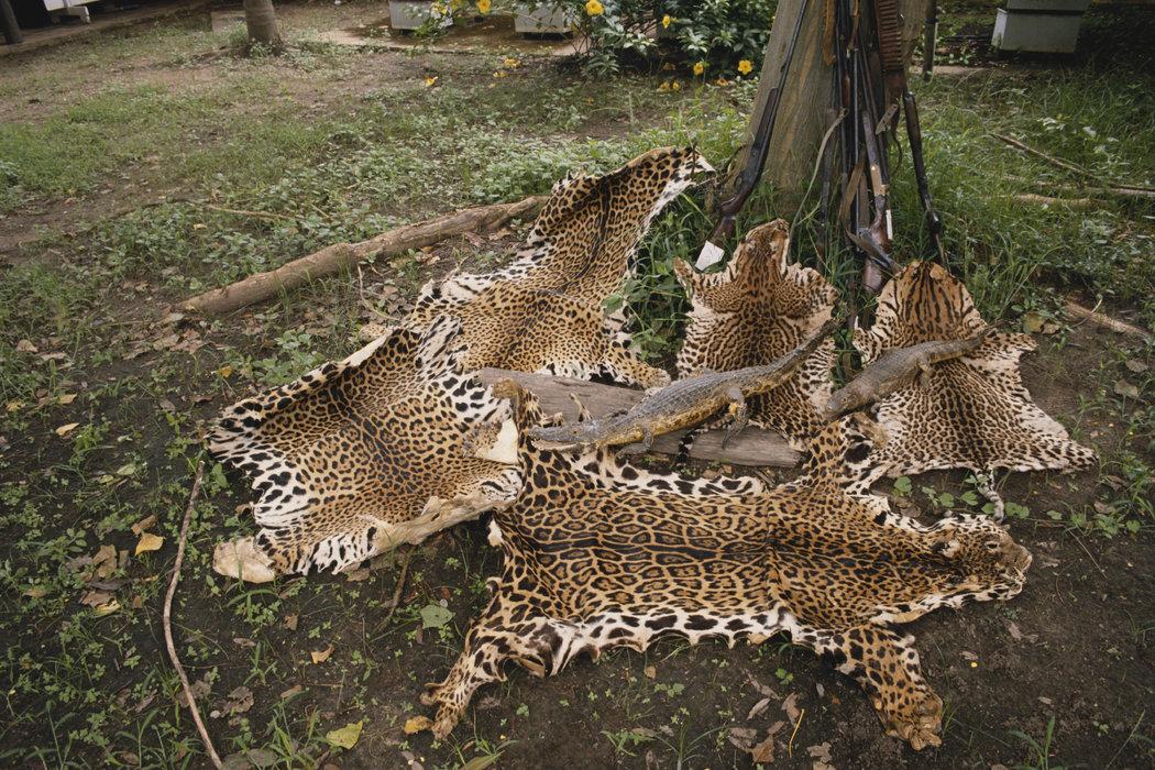 巴西,被盗猎的美洲豹皮毛,同时还有几张豹猫与凯门鳄皮。