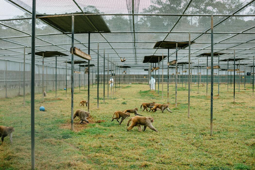 在新奥尔良郊外的杜兰大学国家灵长类动物研究中心,兽医科技装置每天早上向5000多只猴子分发食物。