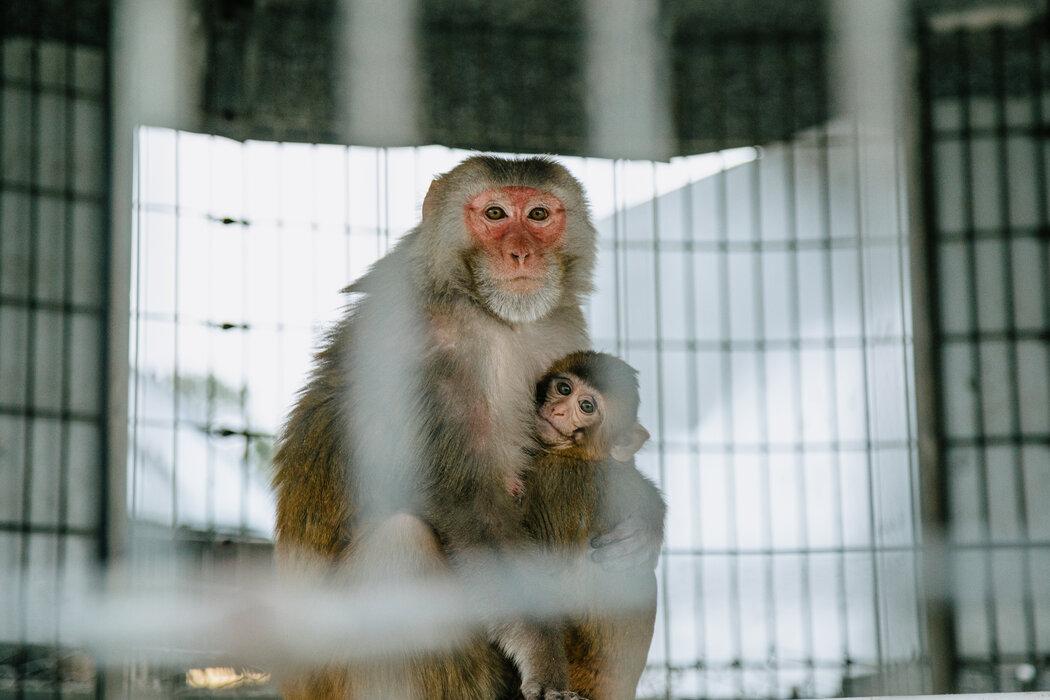 美国大约有2.2万只实验猴。大部分是杜兰的这种粉脸恒河猴。