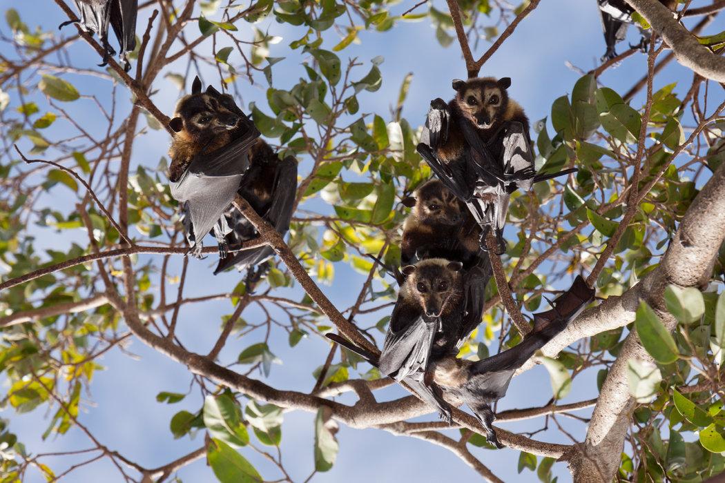澳大利亚的眼镜狐蝠,它携带的病毒会传染给其他动物。