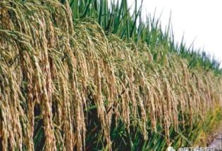 中国杂交水稻发展史