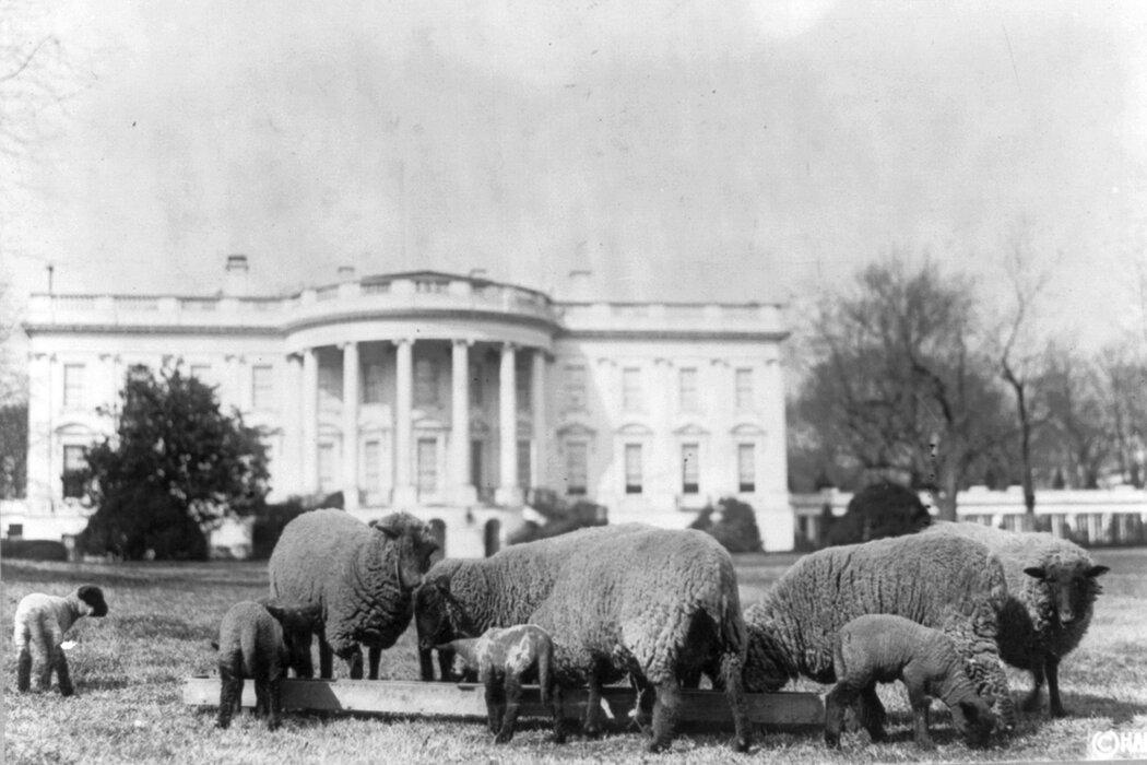 """第一次世界大战期间,伍德罗·威尔逊总统的绵羊被用来""""修剪""""白宫的草坪。"""