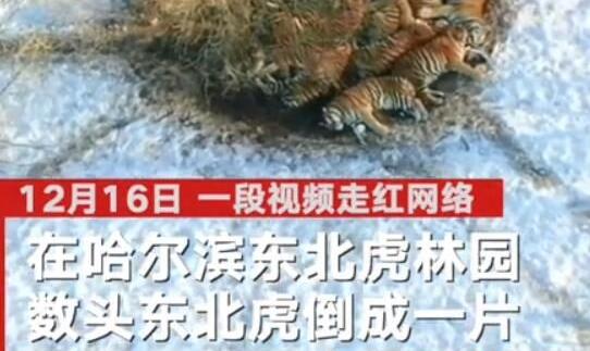 【包万向】东北虎也扛不住哈尔滨的冷 航拍镜头下罕见一幕曝光引热议