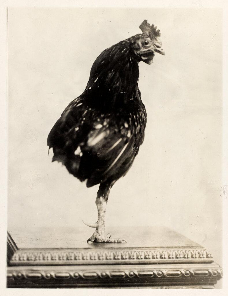 西奥多·罗斯福总统养的独脚公鸡。