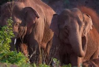 云南大象北上:让科学家们感到困惑的野象群千里跋涉