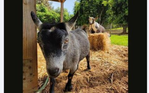 """解读:扎克伯格为何将他的山羊取名为""""Max""""和""""比特币"""""""