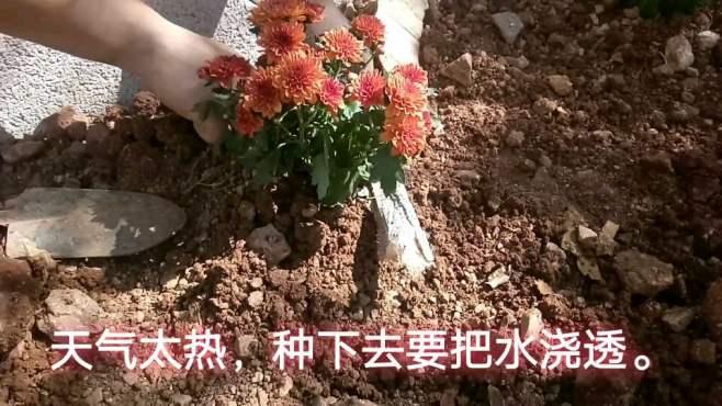 菊花的种植,种上它美翻了