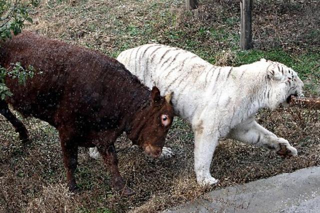 牛年侃牛,你真牛,牛气冲天