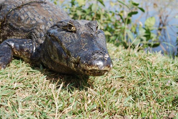 天悦登录4米长鳄鱼体内惊现珍贵文物:距今已有8000年历史