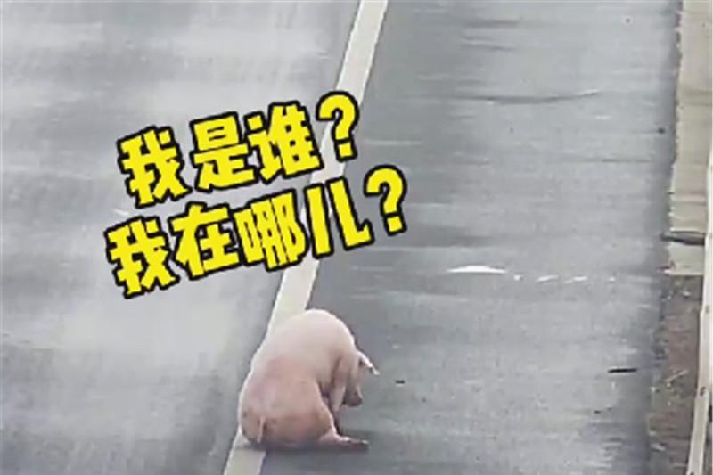 货车司机在高速偶遇一只猪,倒车几十米回来抓,交警:这亏吃大了