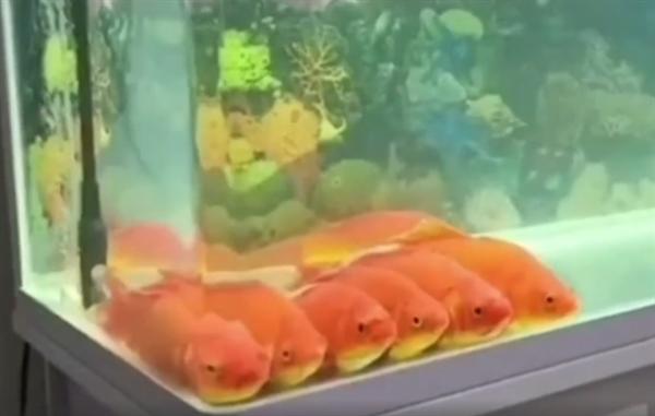 金鱼排成一排看电视是怎么回事?金鱼真的会看电视吗?