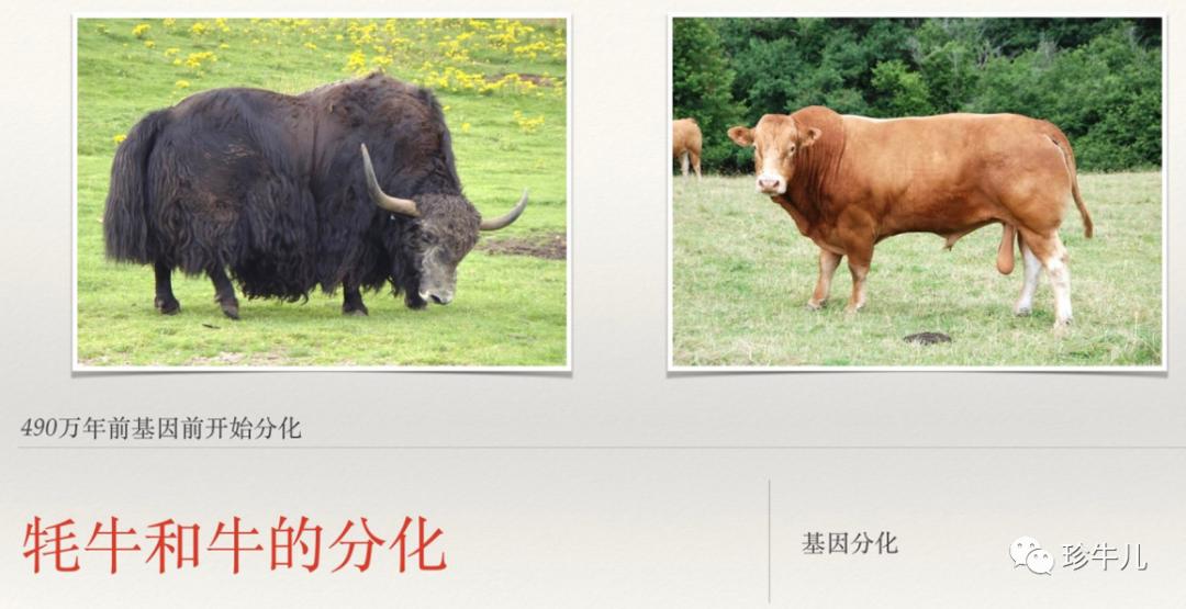 牦牛读mao还是hao(到底是叫mao牛还是hao牛)