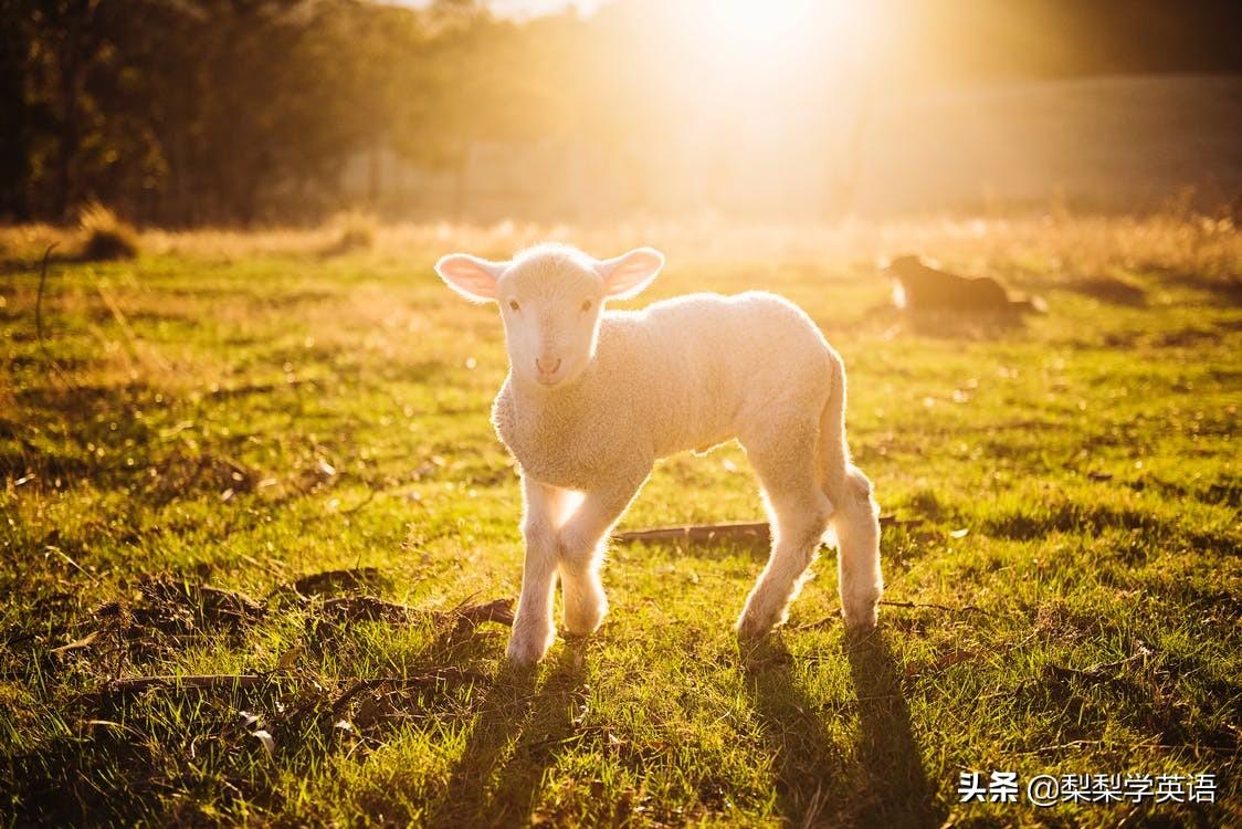 sheep什么意思(sheep是什么词性)