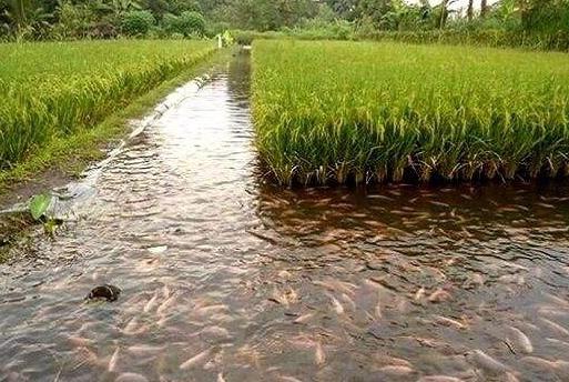 """曾在南方很流行的""""稻田养鱼"""",为何现在不火了?看完心里有数了"""