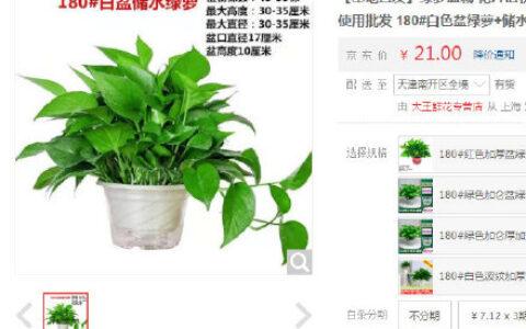 【京东】大王鲜花 白色盆绿萝+储水盆【1包邮】【基地