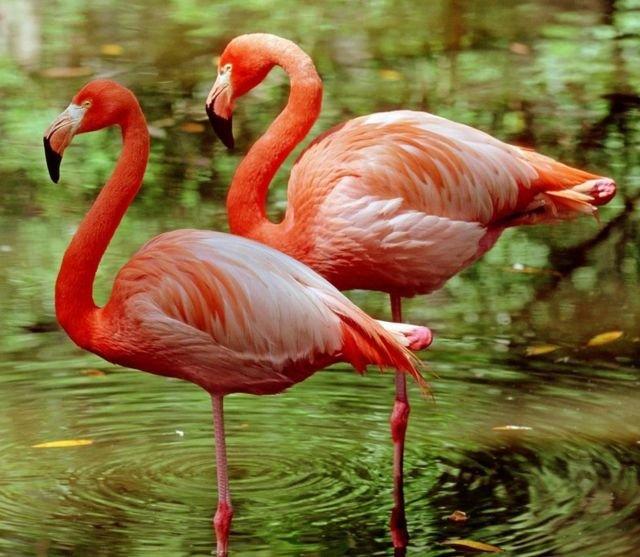 图像加注文字, 火烈鸟经常一只腿站立,节省能量。