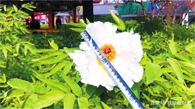 最大的牡丹花有多大?最老的牡丹有多老?插图