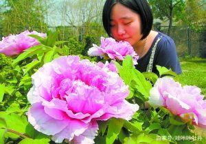 最大的牡丹花有多大?最老的牡丹有多老?插图(2)