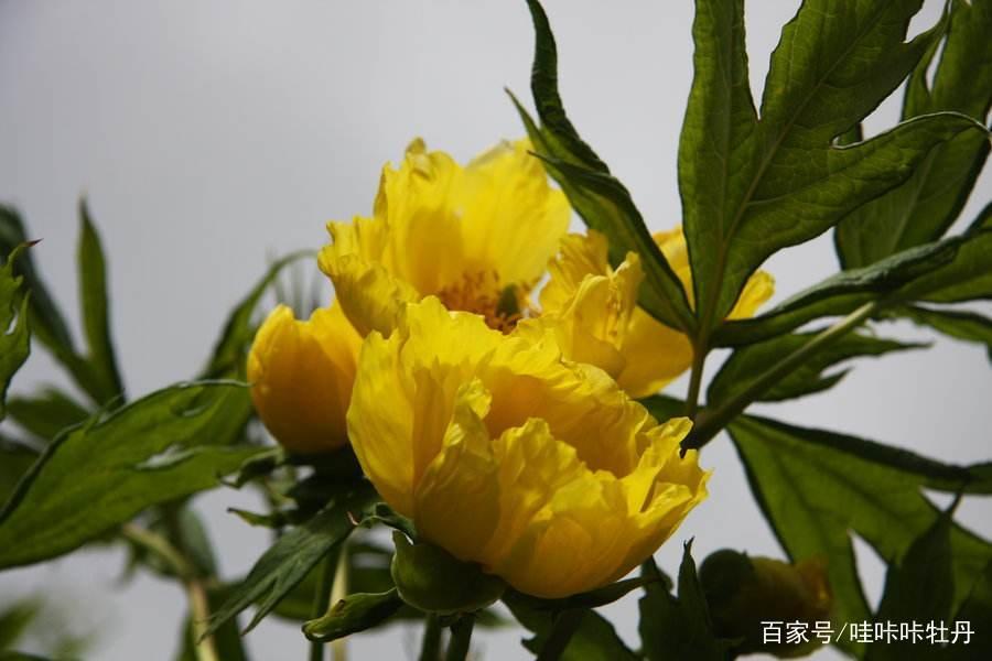 最大的牡丹花有多大?最老的牡丹有多老?插图(5)