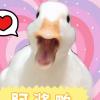 #我家萌宠成精了#为了点零花钱,我居然成为了鸭子的保姆…