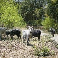 #农村生活农村事#好的品种羊到家,这是自家养殖的三胎怀孕大狗羊,吃的少,生的多,繁殖快