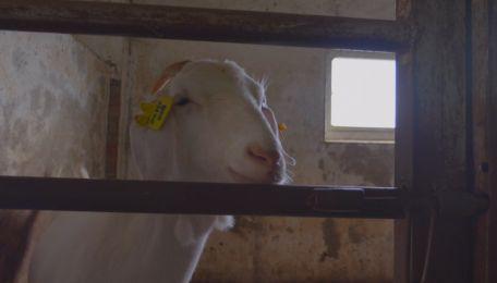 羊吃猪奶视频_一手Video-好看视频