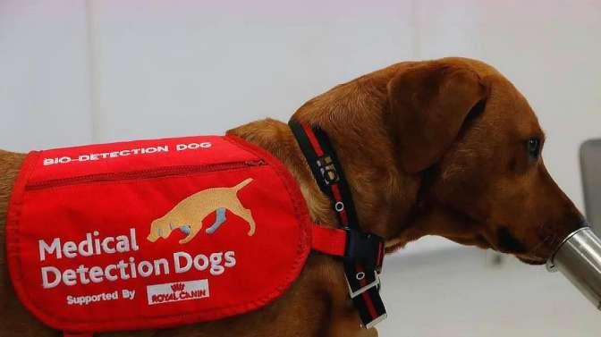 狗能嗅出新冠病毒?此国豪掷430万训练医疗检测犬,效果值得期待