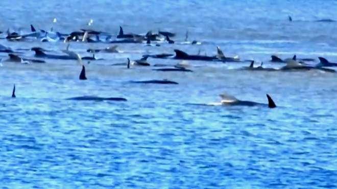 澳大利亚海滩数百头鲸鱼搁浅