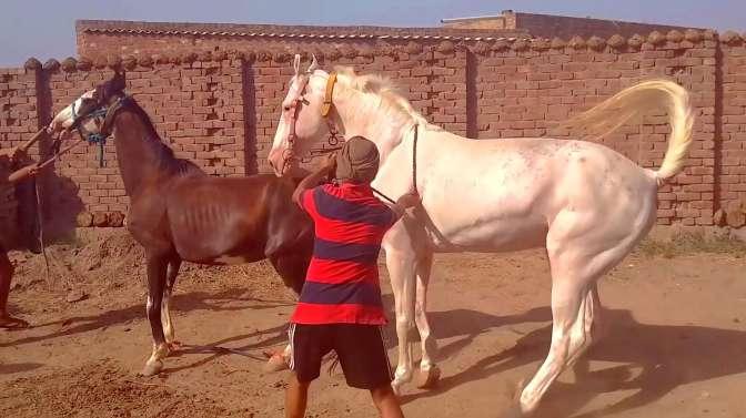 白马这品相堪称马中高富帅,看到棕马就高兴地蹦跶起来