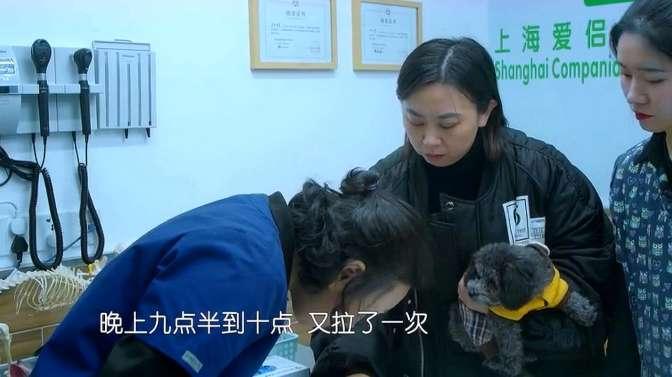 宠物医院2,贵宾犬便便颜色异常,医生确诊为细小病毒