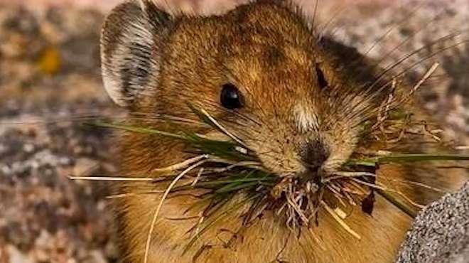 云南勐海发现1例疑似腺鼠疫病例