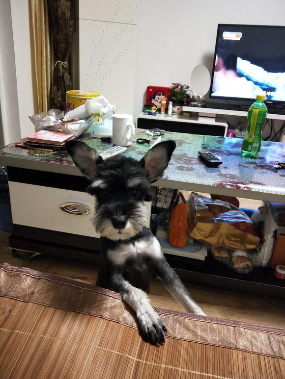 雪纳瑞胆子太小,都不敢出门,它自己在家时要开着电视才行