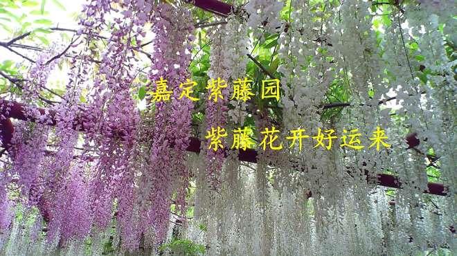嘉定紫藤园续集——紫藤盛开