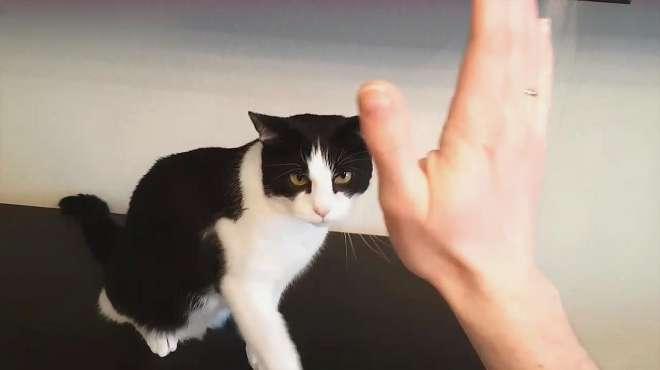 这是一只有礼貌的猫咪,见了人一直想跟人握手
