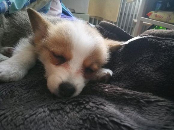 柯基睡觉时在主人怀里,醒了却独自在窝里,又自己在家