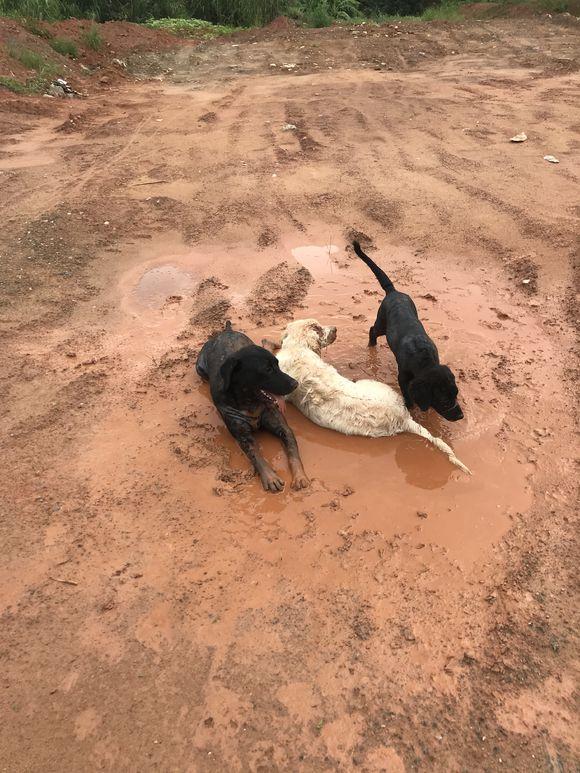 """金毛被两只黑狗""""胁迫""""去玩泥,趁它们不注意赶紧逃跑"""