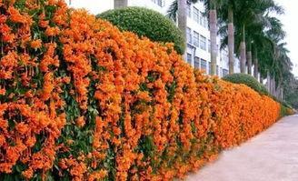 生命力极强的俄罗斯凌霄花,花朵美丽,栽培简单
