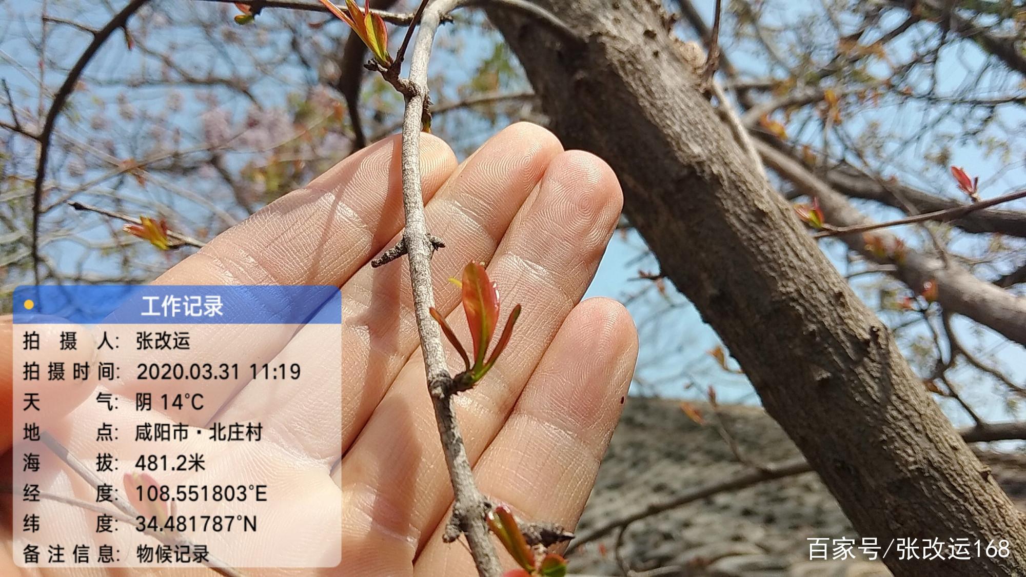 张改运/2020.03.31各种北方果树今天的物候特征