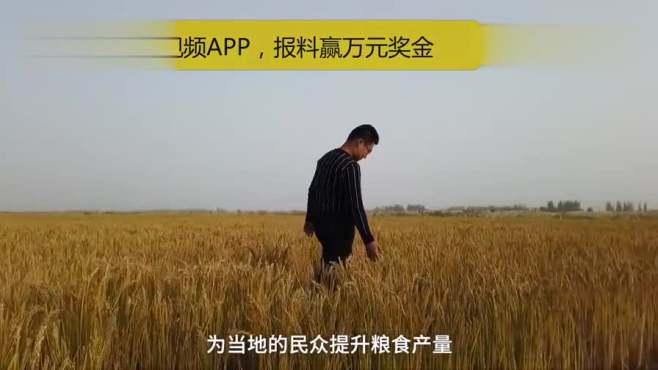 袁隆平团队海水稻亩产548.53公斤