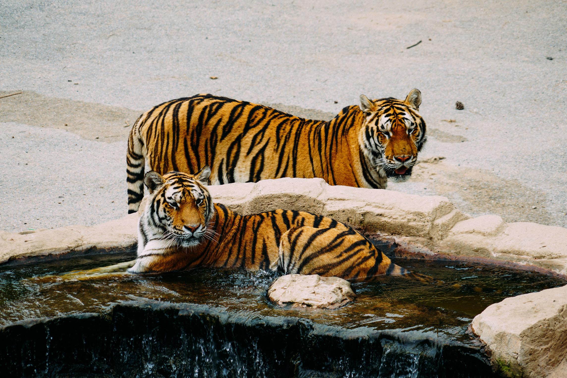 属虎人命里有几个子女属虎人的命运