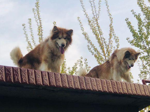 阿拉斯加看门方式很特别,它们不在院子里,而是站在房顶上