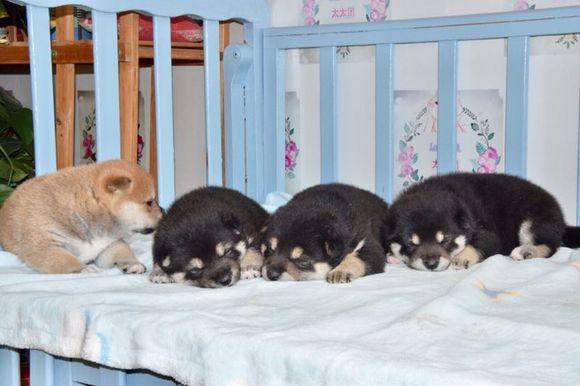 小奶狗都在睡觉,柴犬偷偷喂另外两个,声音太大都被吵醒了