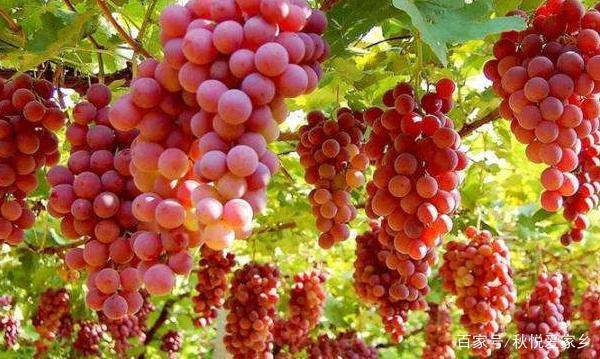 如果想在家种植一棵红玫瑰葡萄,那该怎么做呢,有哪些注意事项?