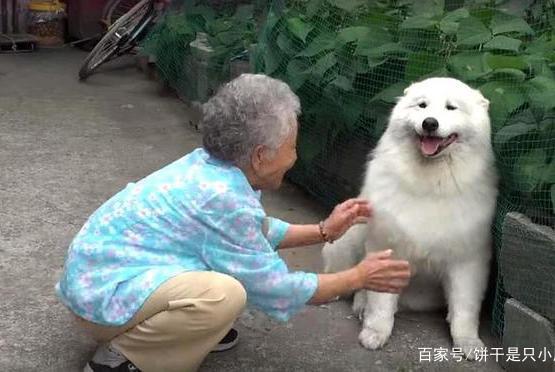 调皮捣蛋的萨摩耶,因为93岁的奶奶晕倒后,变得乖巧懂事